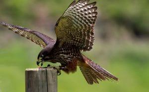 Falcon landing on a post
